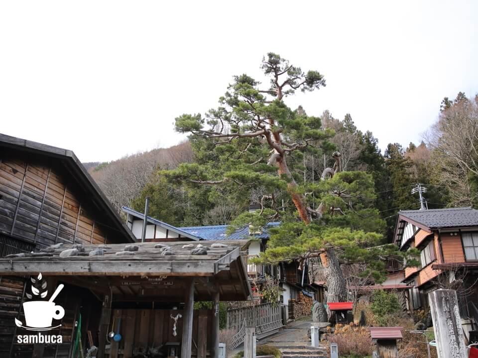 津島神宮御神木のアカマツ