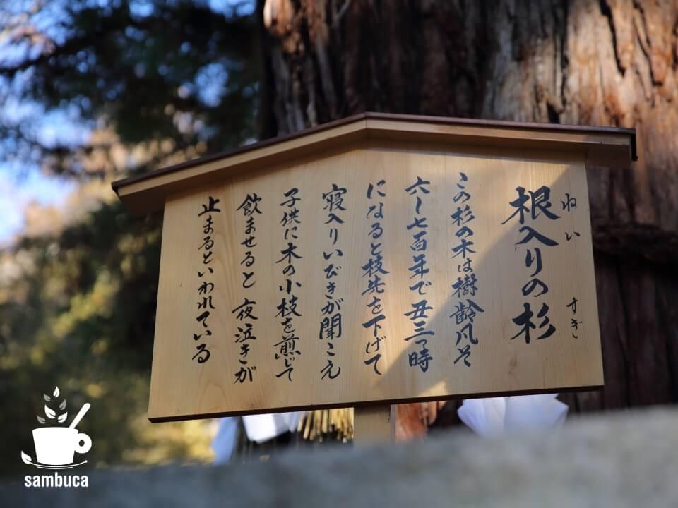 「根入りの杉」の案内