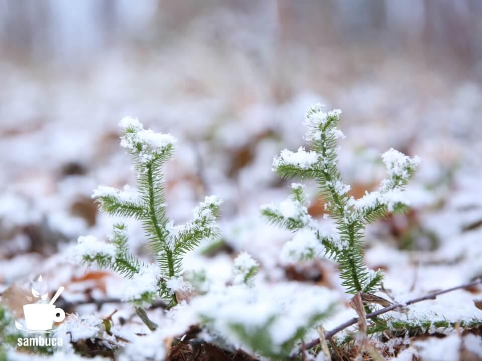 雪を被ったヒカゲノカズラ