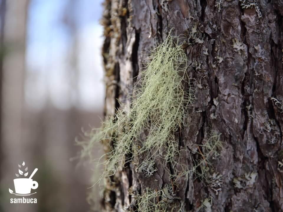 カラマツの樹皮に付いたサルオガセ