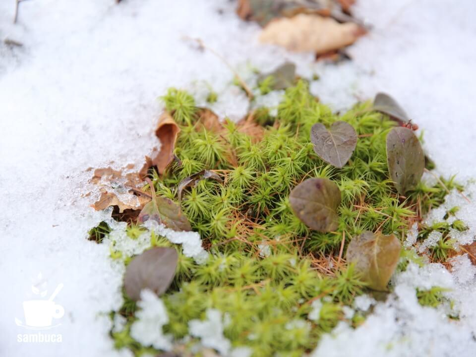 雪の中のスギゴケ