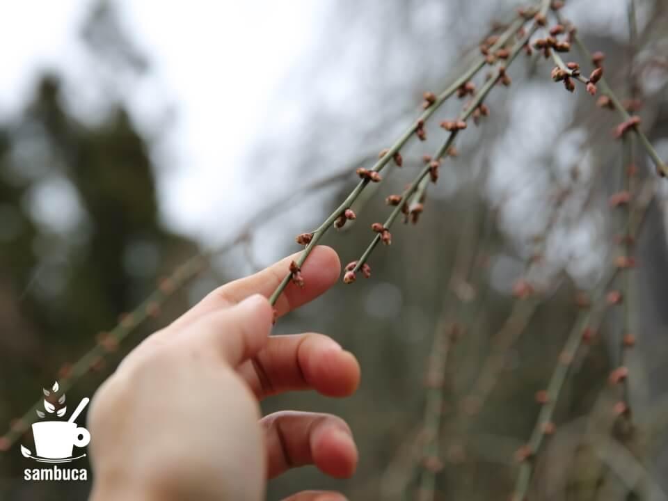 「和合の枝垂梅」の冬芽