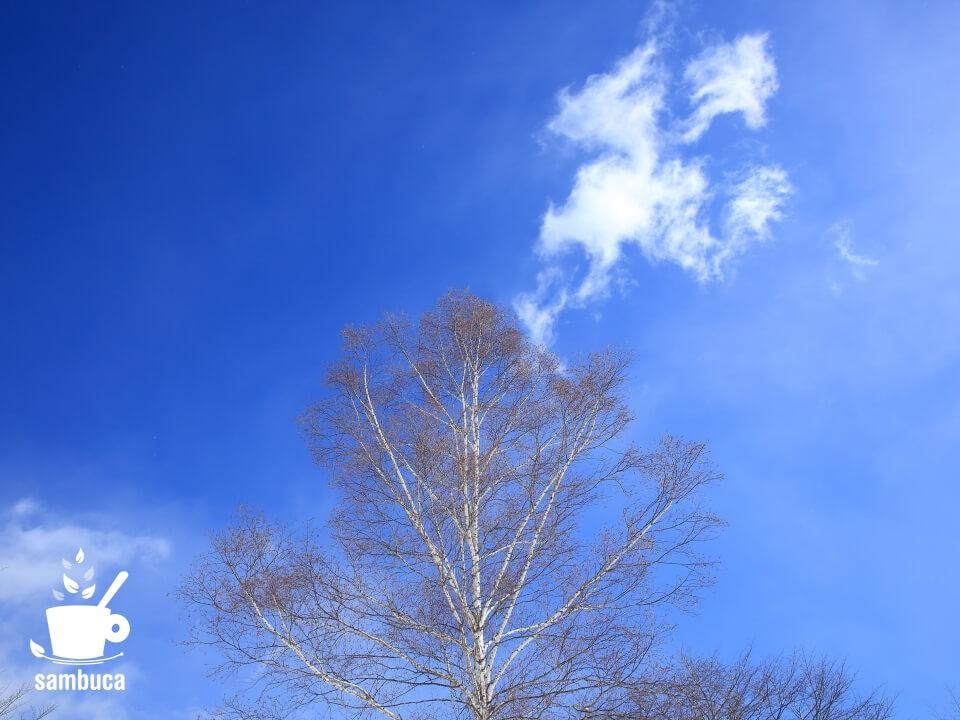 シラカバと白い雲