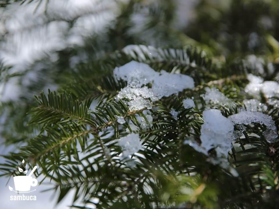 ウラジロモミの葉の上に雪