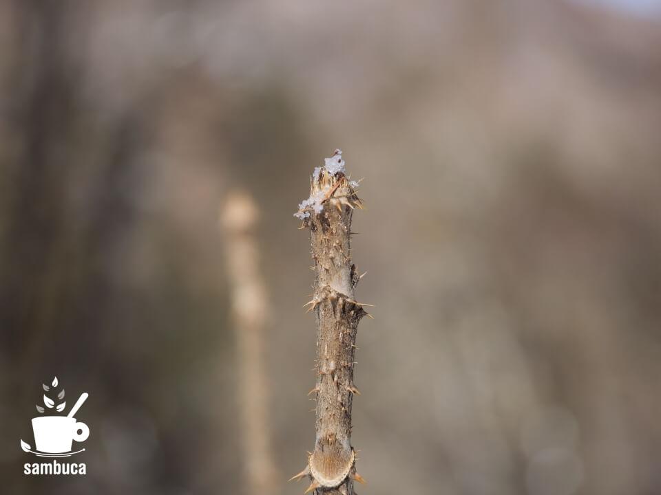 タラノキの冬芽