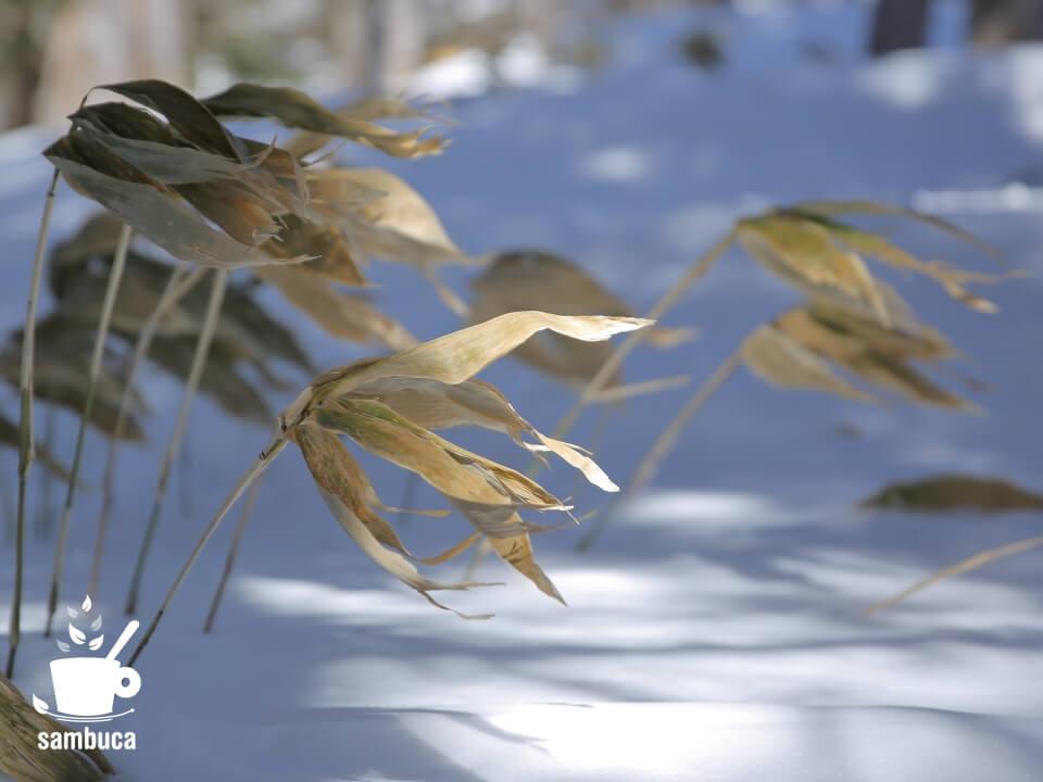 雪の上のシナノザサ