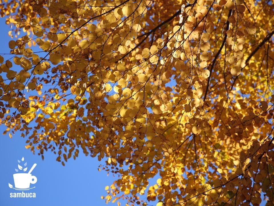 紅葉した桂の木の葉