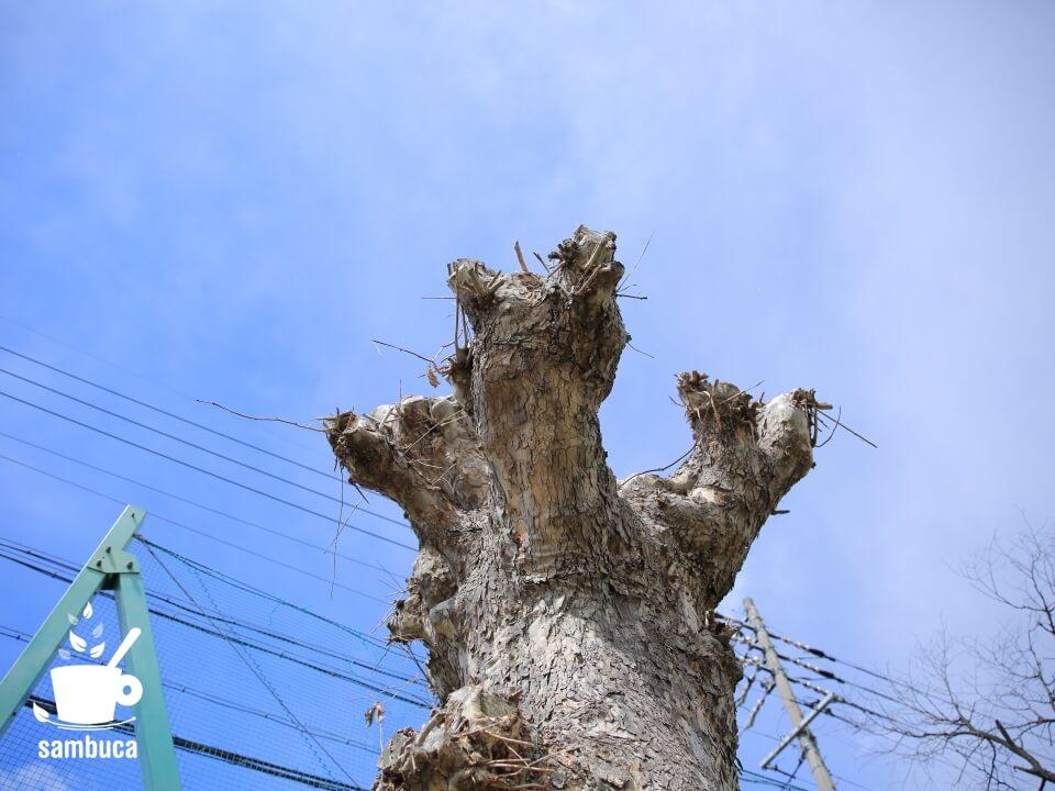 強剪定されたプラタナスの木