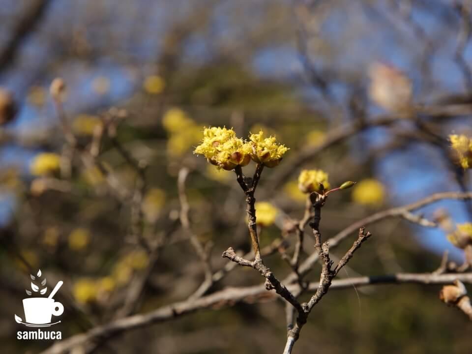 小石川植物園のサンシュユ