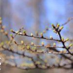 カラマツの芽吹き