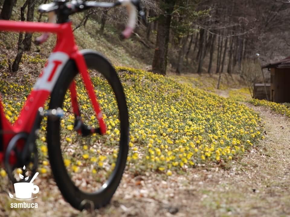 自転車を降りてフクジュソウを観賞