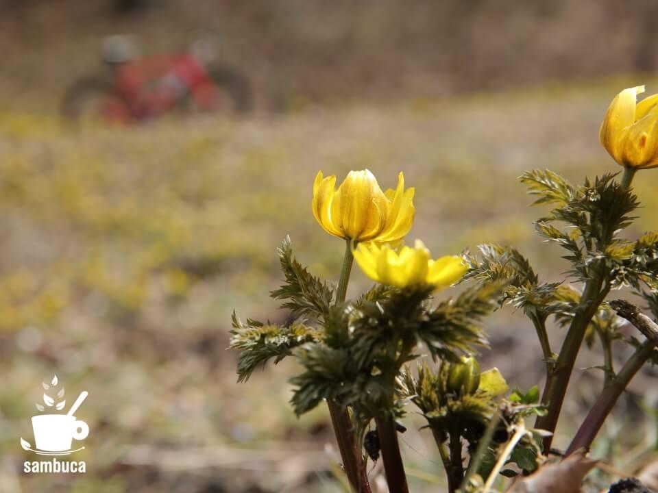 福寿草の花言葉について