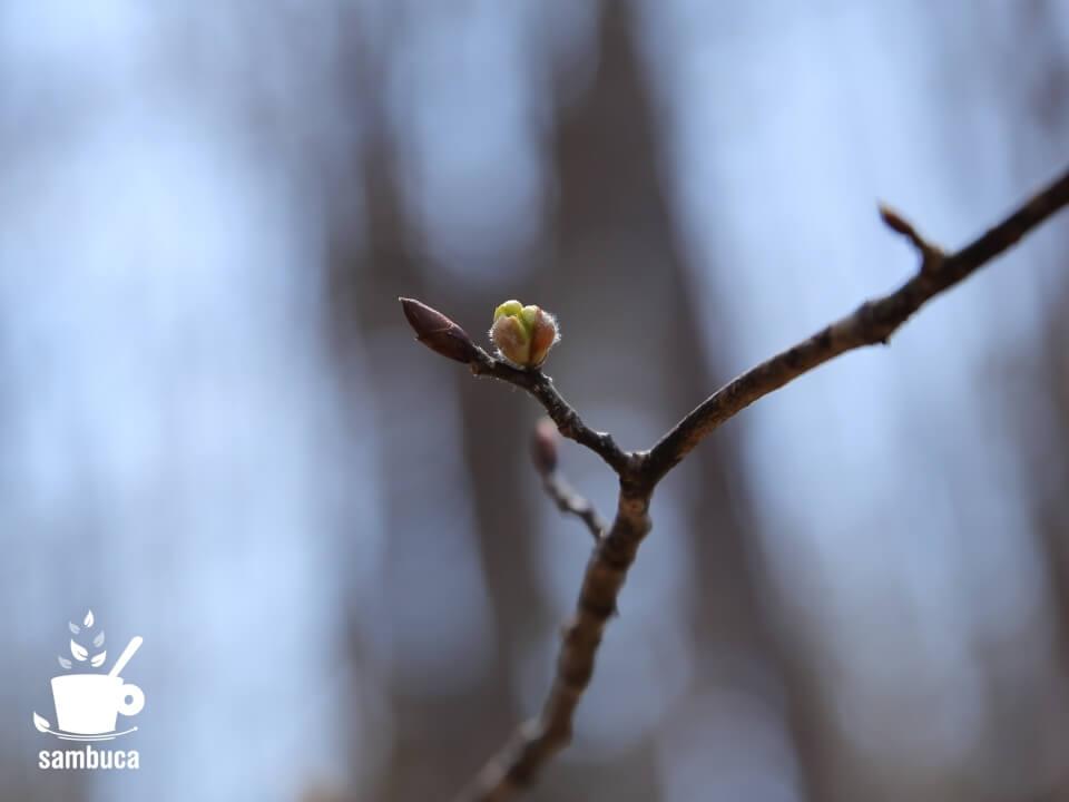 ダンコウバイの冬芽(開花直前)