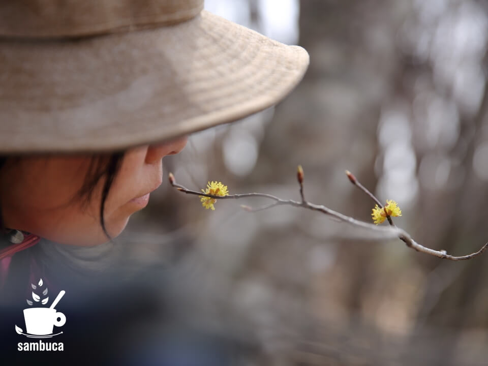 ダンコウバイの花の香り
