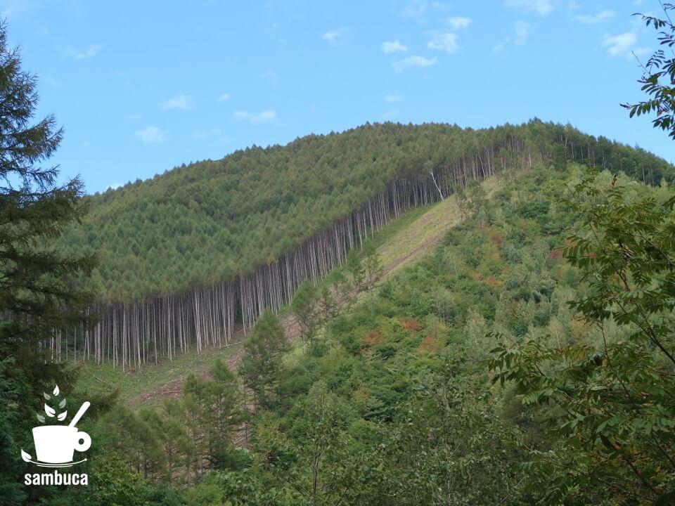 植林されたカラマツ林