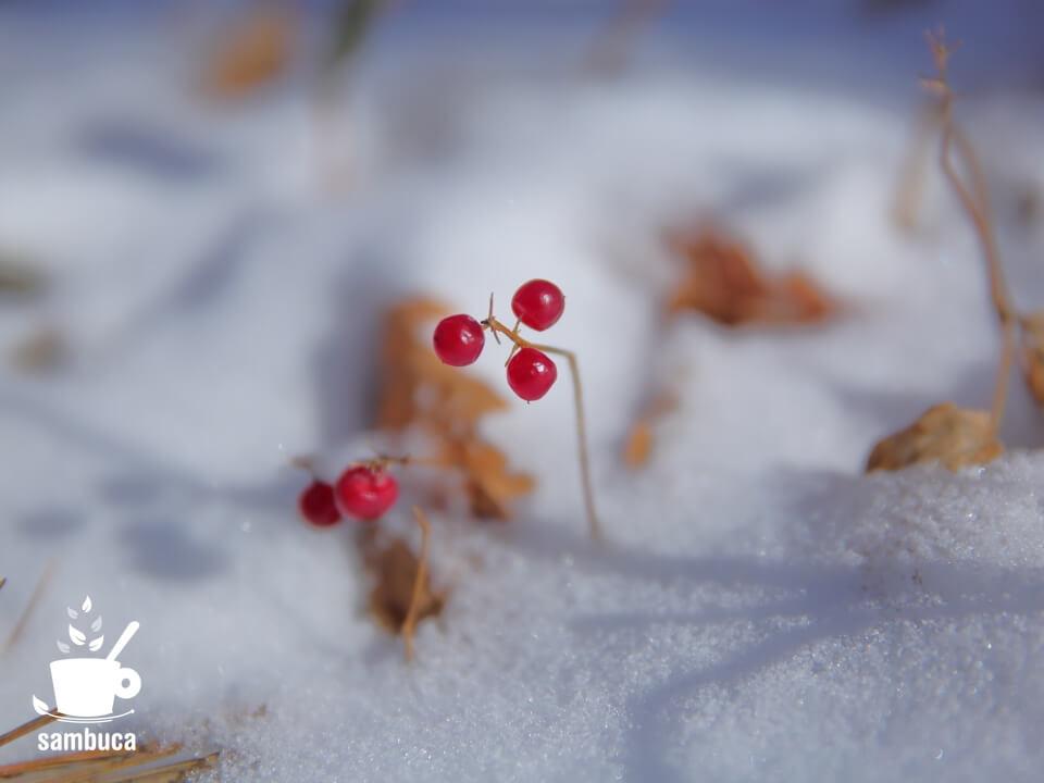 マイヅルソウの実(冬)