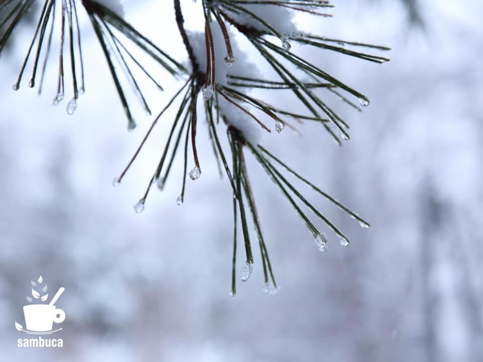 アカマツの葉に雪と氷