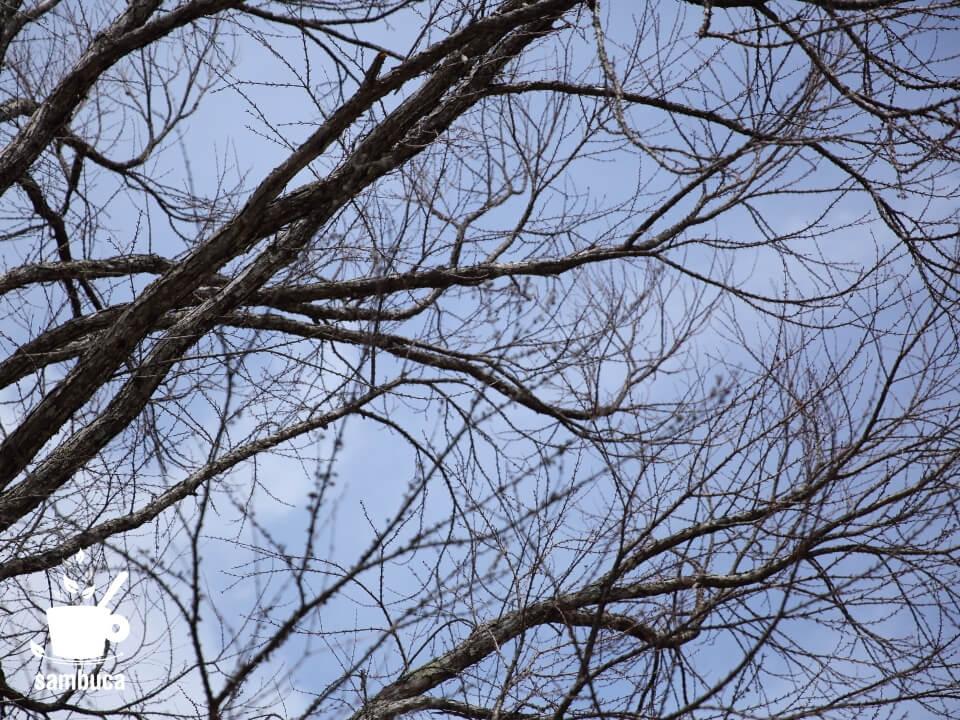 開花時期のカツラの枝