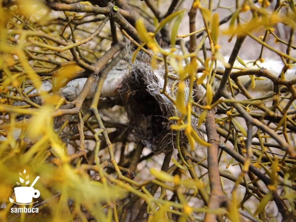 鳥の巣がヤドリギの横に