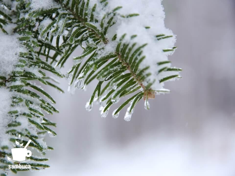 ウラジロモミの葉と雪