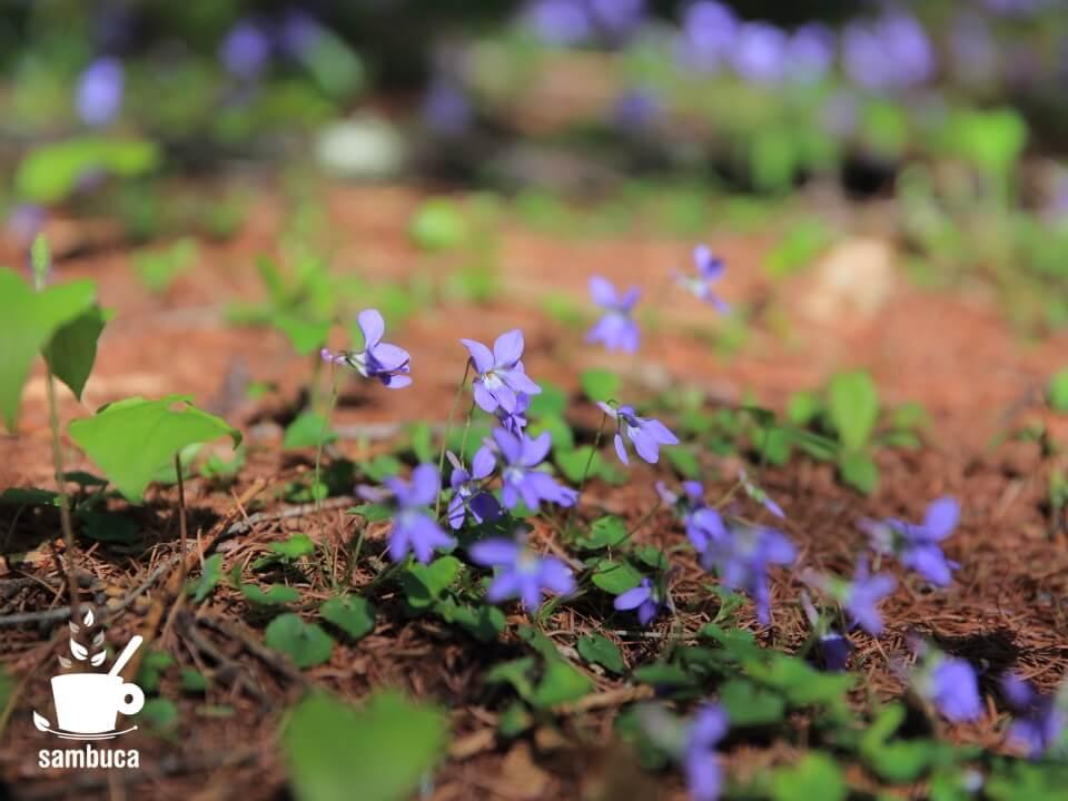 日本では普通に見られるスミレの花