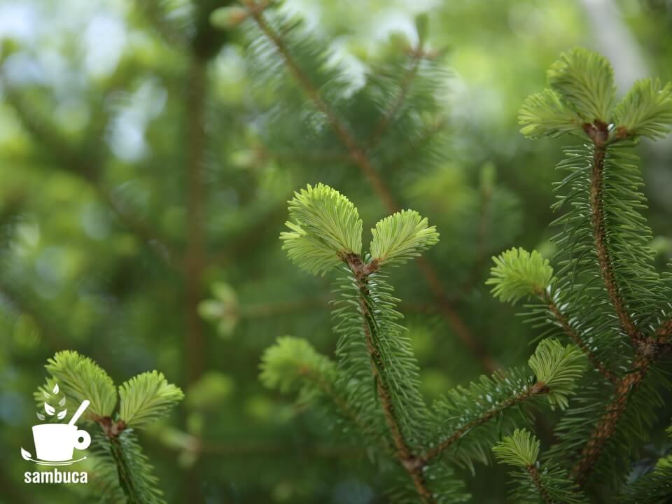 モミの木の新緑