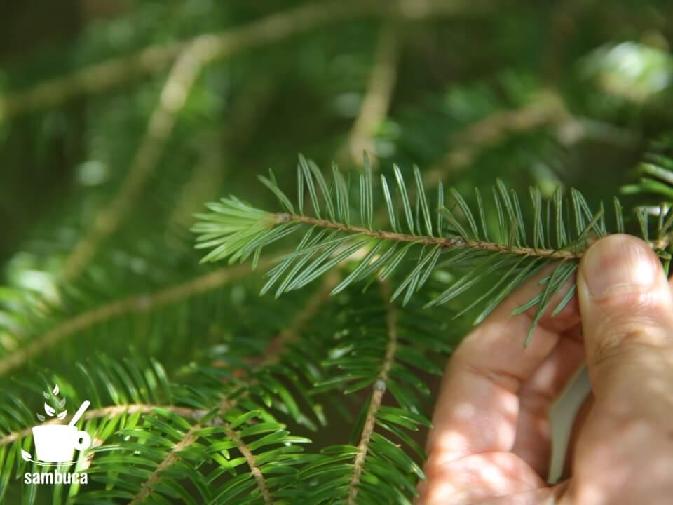 ウラジロモミの葉