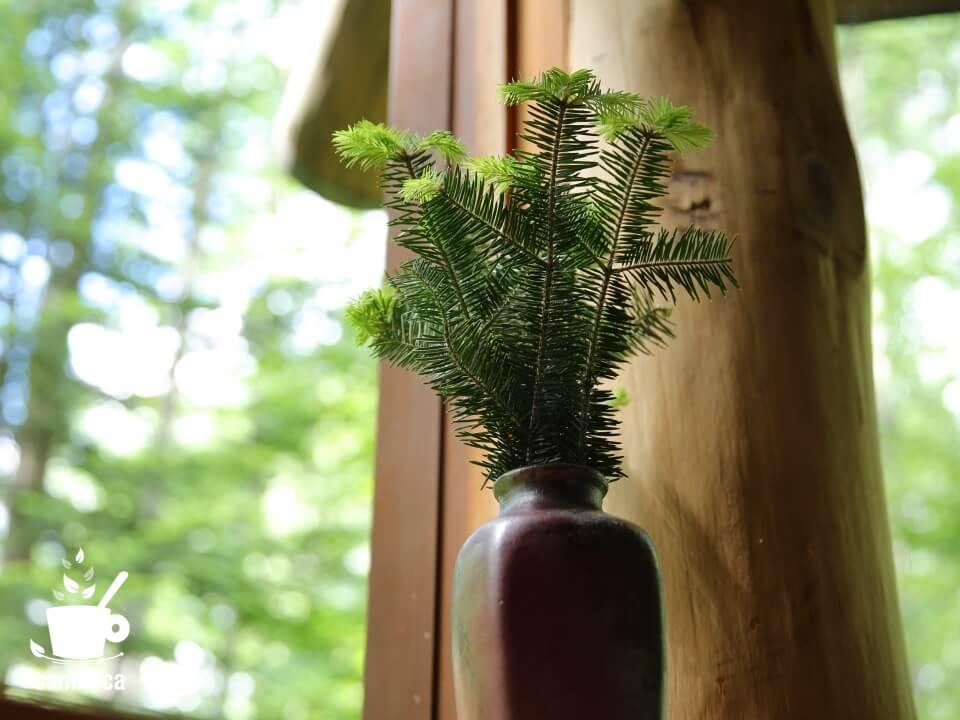 花瓶に生けたウラジロモミ