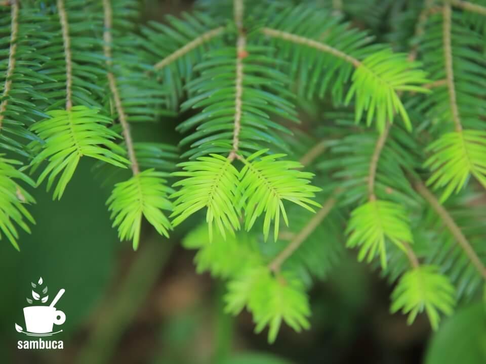 モミの木の新芽
