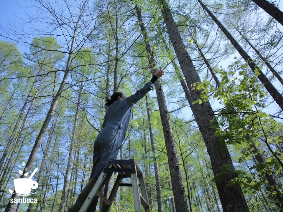 カラマツ林の中でコシアブラ採り
