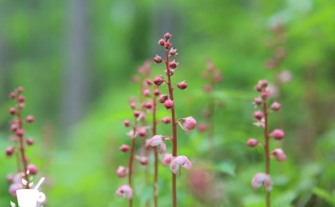 ベニバナイチヤクソウの花