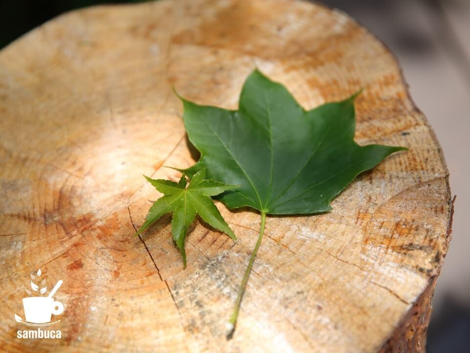 イロハモミジとイタヤカエデの葉