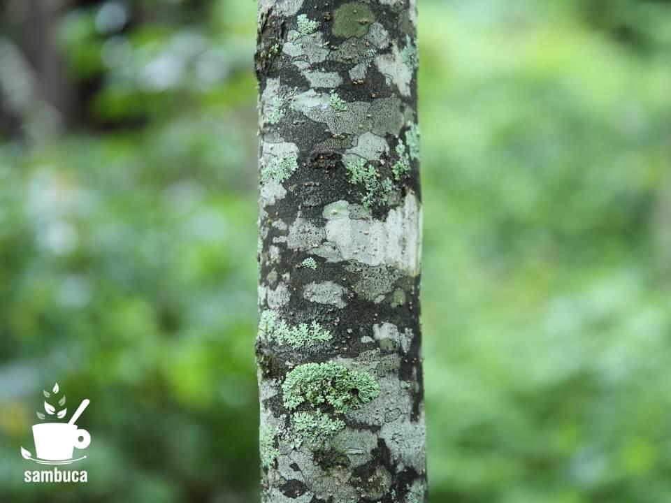 コシアブラの樹皮
