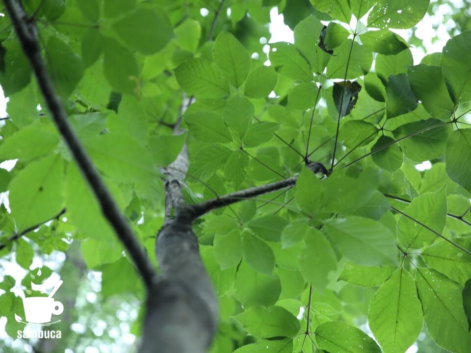 下から見上げたコシアブラの木