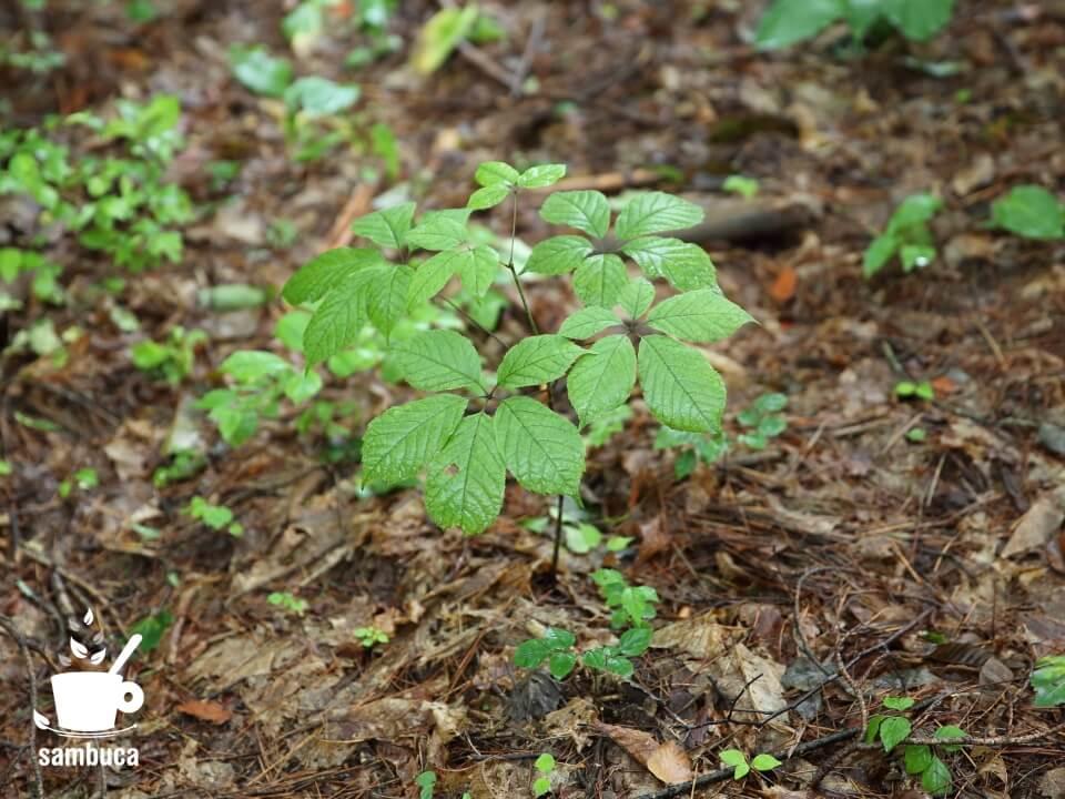 林内に自生しているコシアブラ