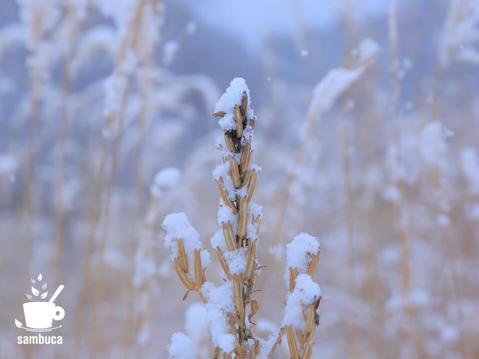 冬枯れのマツヨイグサに雪