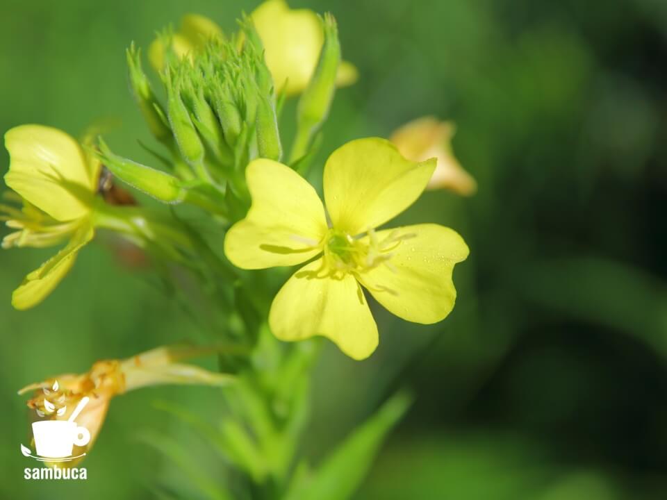 メマツヨイグサの中で、花弁に隙間があるものをアレチマツヨイグサとして区別する場合も