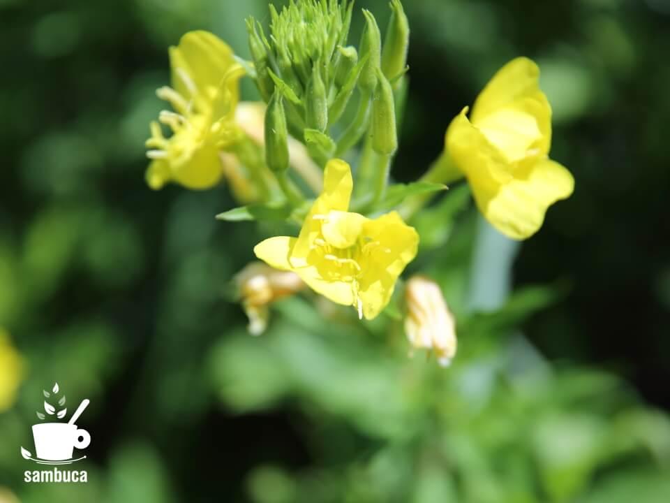 しぼんだ状態のメマツヨイグサの花
