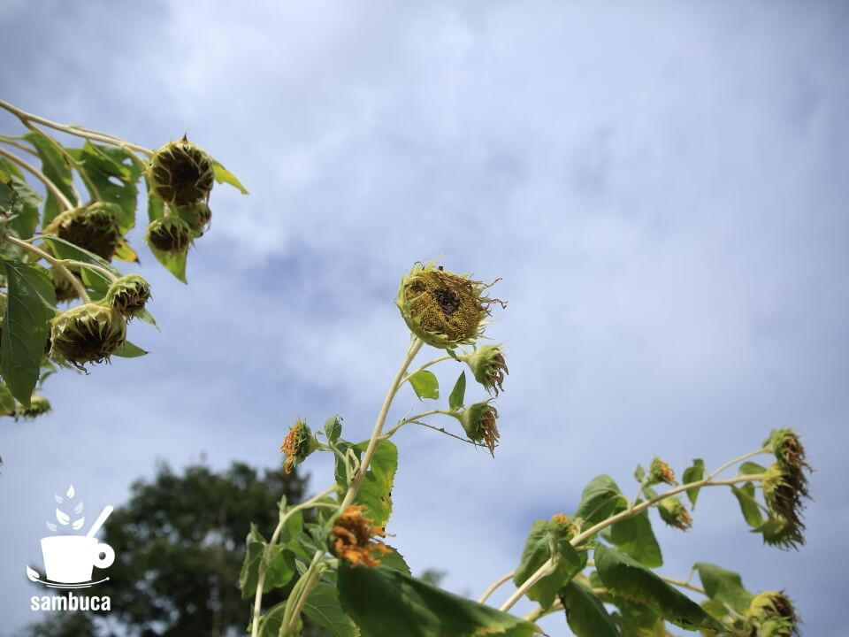 花期終盤、夏の終わりのヒマワリ