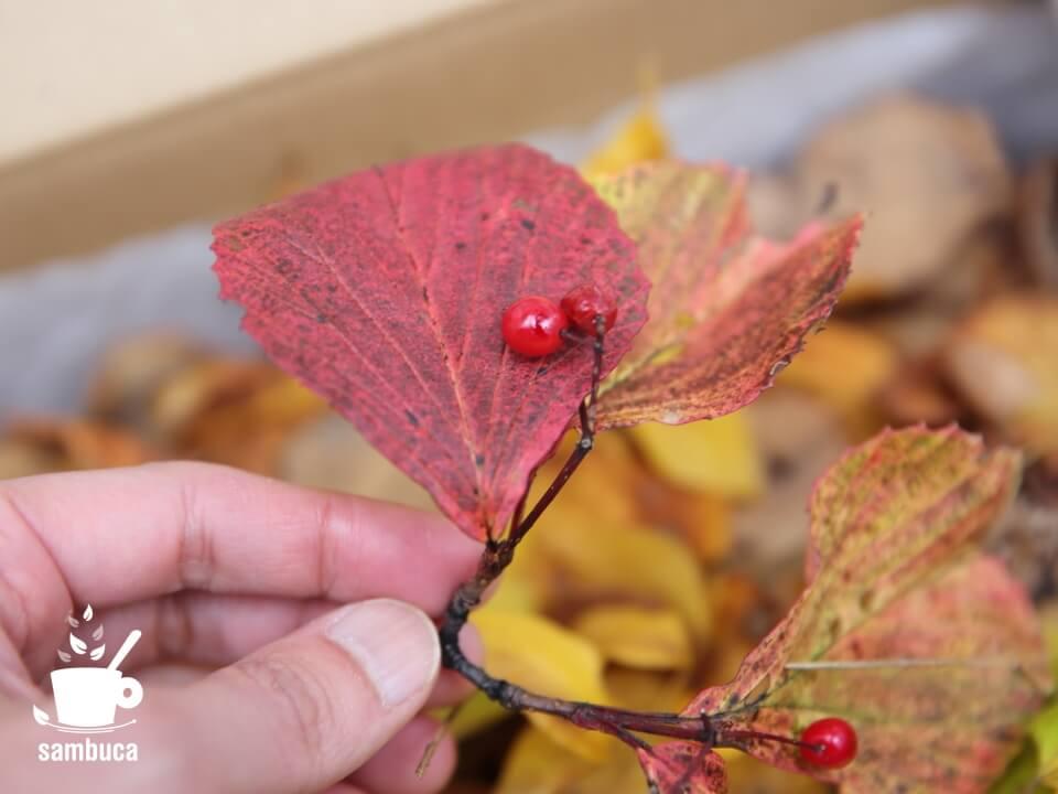 ガマズミの葉と実