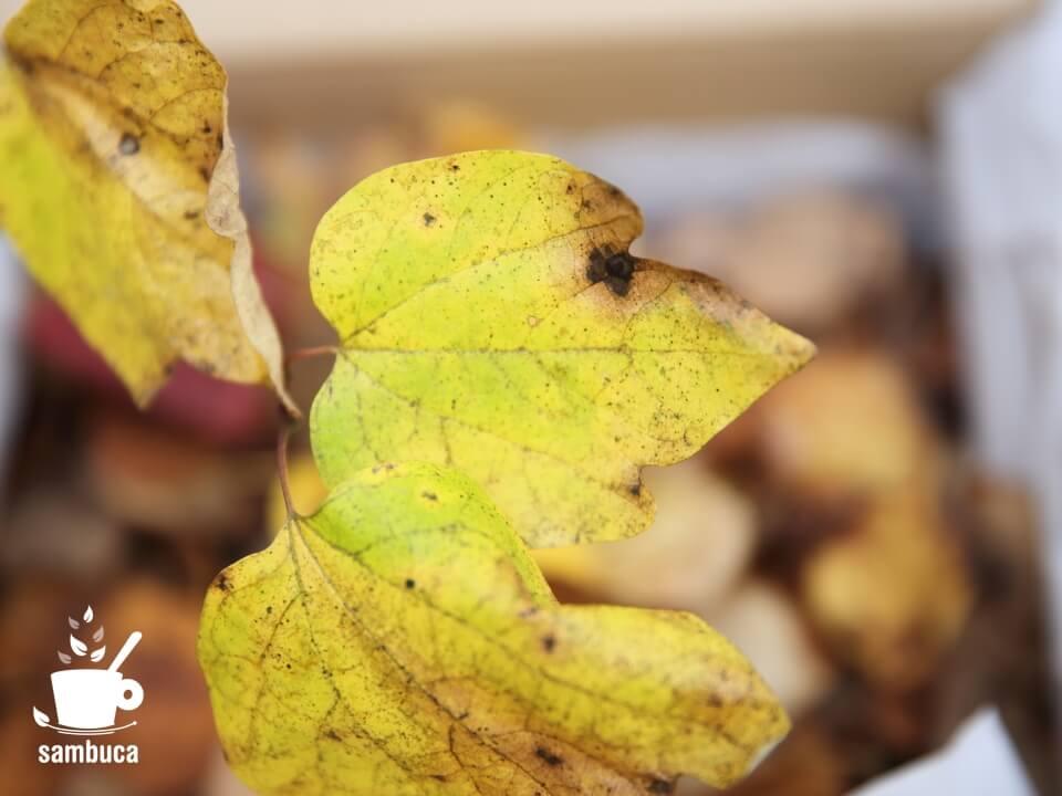 黄葉したダンコウバイ