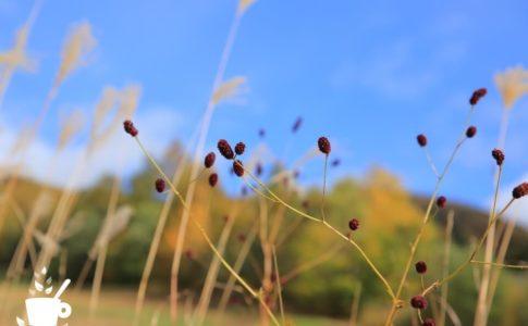 ワレモコウとススキ、黄葉したカラマツ林