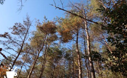 枯れ木が目立つアカマツ林