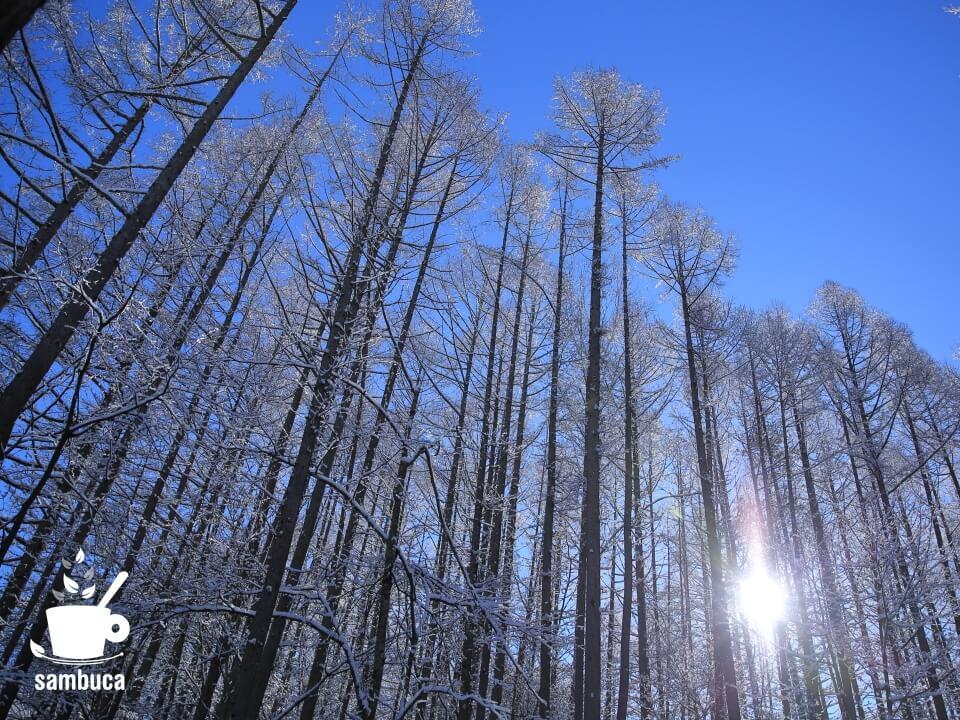 冬のカラマツ林