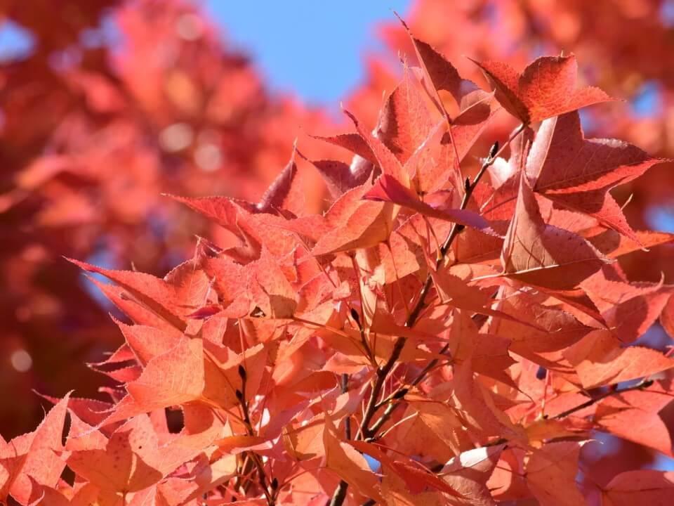 タイワンフウの葉