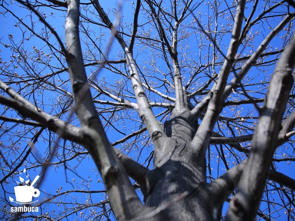 ユリノキの枝の先にたくさんの実