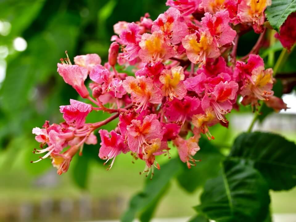 ベニバナトチノキ(銀座マロニエ通りに多いのはこちら)の花