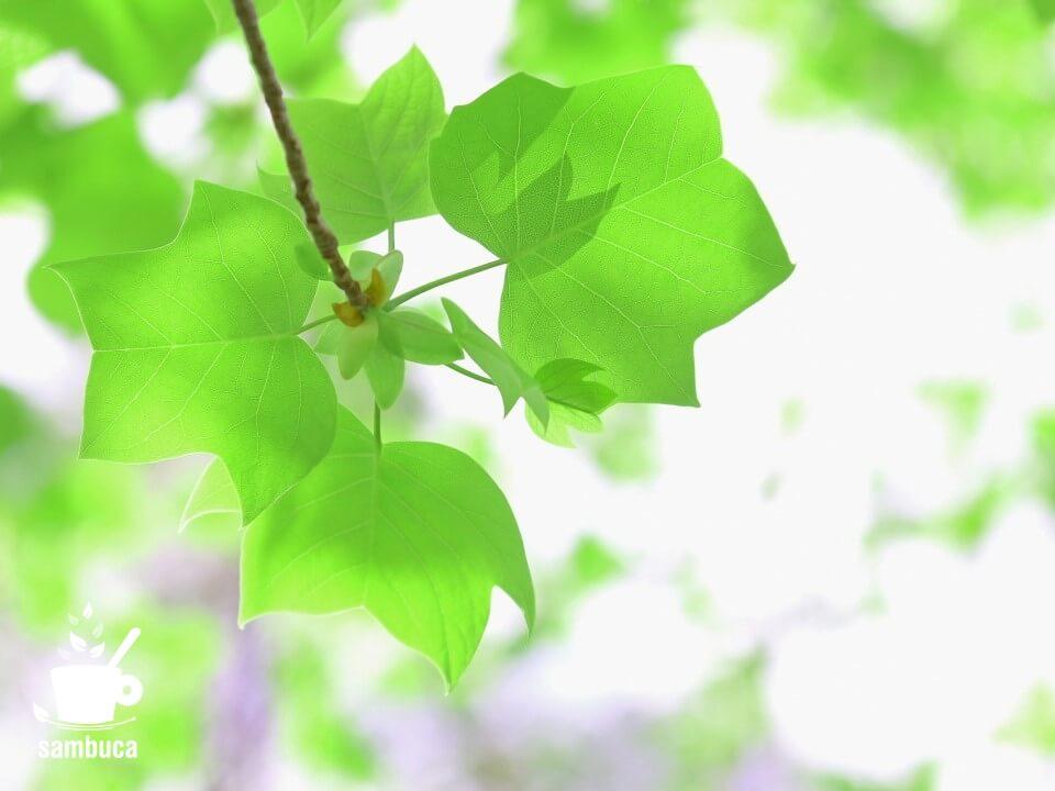 ユリノキの葉