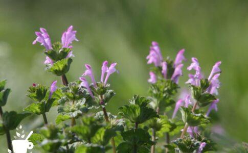 ホトケノザ(仏の座)の花