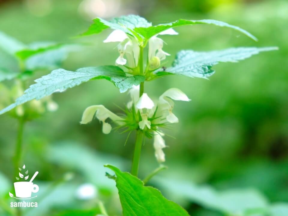 オドリコソウの花